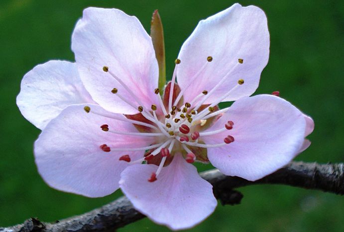 Cvet breskve
