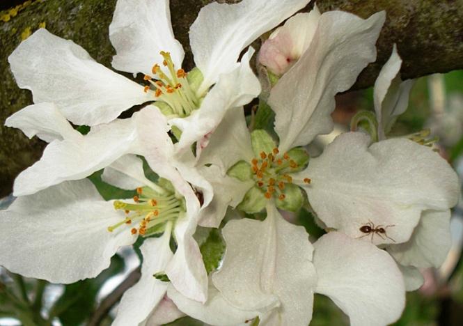 Mravljica na cvetu