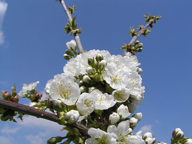 Češnja cvet