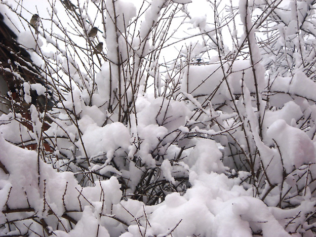 Vrabčki na grmu