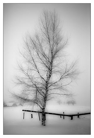 Bela breza